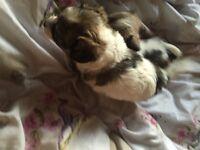 Jackrussal cross toy poodle (Jackapoo)