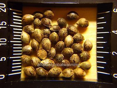 Photo. 2000s. Measuring Marijuana - Hemp Seeds Cannabis Sativa