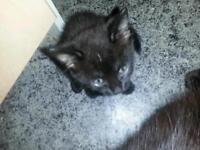 2 black kittens left