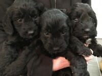 Cockerpoo puppies ready to leave from next week