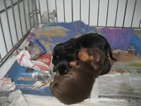 3 adorable miniature smooth haired dachshund puppies