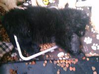straight back German shepherds puppy