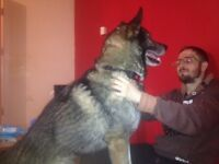 German shepherd 3 yr old male very big and lovely temperament good with other dogs