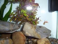 Endler Guppy Fish Guppies - 8 fish for £5