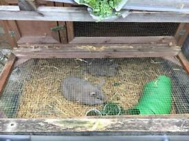2 Rabbits in need of a loving home