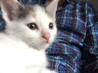 Cypriot Kittens - healthy and adorable ready 29/09