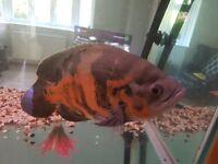 Tiger Oscar, plecos and cichlids for sale