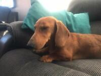 Male dachshund 8 months old