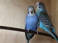 Beautiful Aviary Bred Budgies By Enthusiast