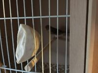 Canaries / mules for sale