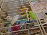 Pair of budgies with large cage