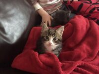 Missing Female short haired Tabby Cat with white markings - £50 REWARD