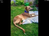Male Whippet