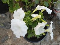 Plant for sale-A white flowers petunia plant in a 16 cm pot