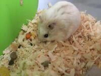 Female Russian hamster