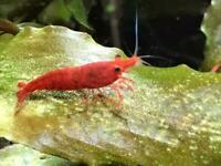 Cherry Shrimp Red - available from 1 July