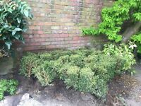 Approx 30 box hedge shrubs all around 40cm high