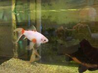 large healthy goldfish