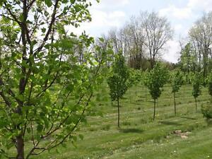 Caliper Shade Trees in Wire Baskets for Sale Kitchener / Waterloo Kitchener Area image 1