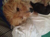 Norwich terrier puppys