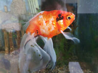 Home wanted for one Fantail Goldfish