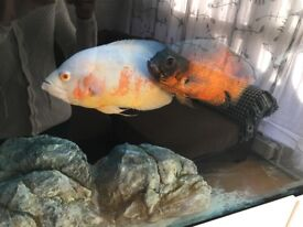 Large 10 inch red Oscar