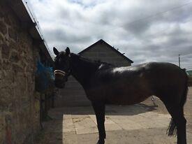 Stunning Irish sports horse mare for full loan