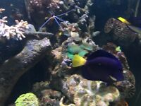 "3-4 "" Purple tang reef safe marine fish for salt water fish tank aquarium"