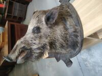 Antique Vintage French Taxidermy Stuffed Wild Boars Head - Hunting Trophy Wild Pig