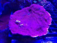 Red Plating Monti - SPS coral - Marine Fish Tank Aquarium