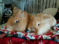 2 beautiful teddy lionhead girls in need of a loving home together