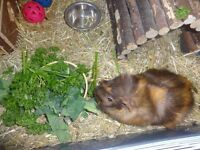 2 X guinea pigs including cage & hay