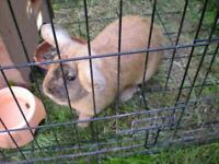 Female lop ear rabbit
