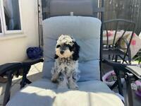 Beautiful blue roan puppy for sale