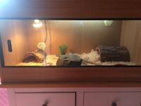 Bearded dragon + vivarium for sale