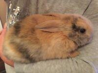 Domestic boy Rabbit For Sale.
