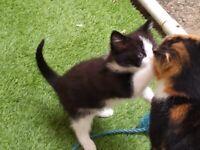Cuddly Black/white male kitten