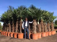 £159 Premium Trachycarpus Fortunei Palm Tree. Hardy to -15 . 70L/ 110cm tr/ 8-9ft. FREE UK Delivery!