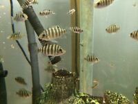 Tropical Fish - Spotted Tilapia (Tilapia Mariae) - 5 for £5
