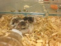3 baby denial dwarf hamsters grey and white