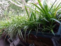 Job Lot Spider Plant/Chlorophytum Various Lots of them