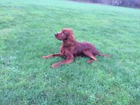 18 months old, gentle and clever red Irish Setter KC registered