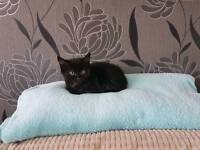 BOY dark chocolate, cute kitten to good home