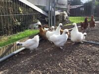 Selection of Silkie Chickens for sale