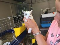 Lion lop rabbits for sale