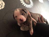 American blue blood bulldog pups