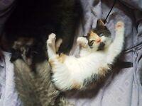 3 beautiful female kittens for sale