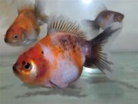Lovely Juvenile Calico Oranda Goldfish