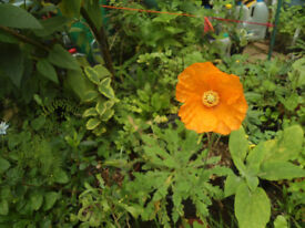 Plants for sale-Iceland poppy plants in a 16 cm pot