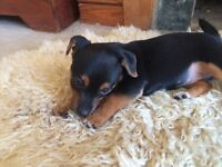 Stunning Black & Tan Jack Russell Puppies - 10 Weeks - READY TO GO NOW